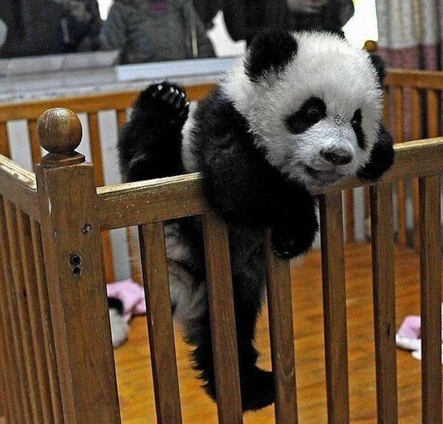 Bayi Panda Pinter Manjat