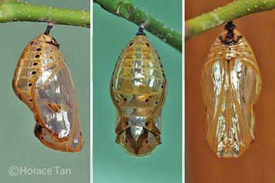 Vòng đời của bướm