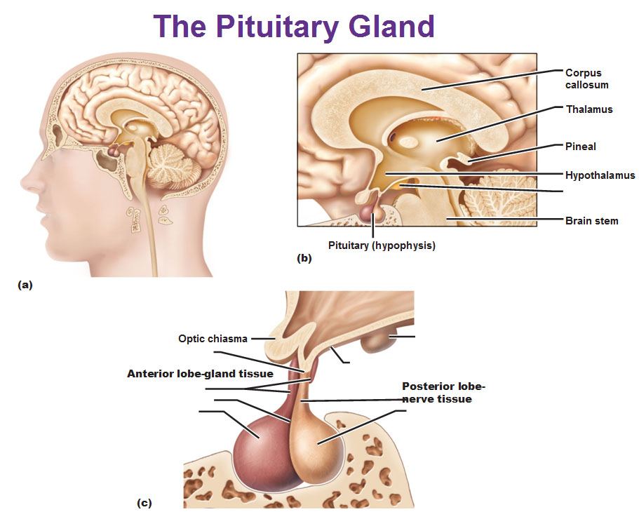 Intro to Anterior Pituitary Gland