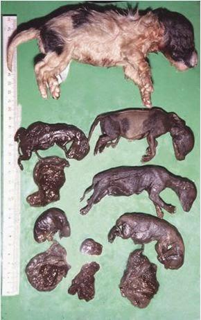 Xảy thai và thai khô trên chó bị nhiễm CHV