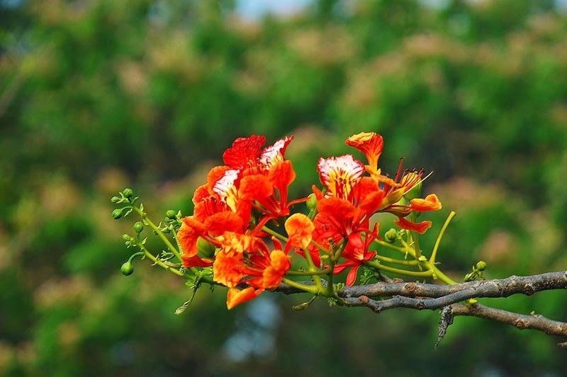 ảnh hoa phượng hd
