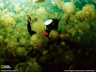 Giant Jellyfish in Japan See HD Photo