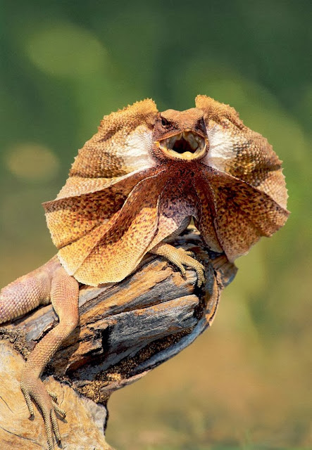 The frill-necked lizard, also known as the frilled lizard or frilled dragon, is found mainly in northern Australia and southern New Guinea. This species is the only member of the genus Chlamydosaurus