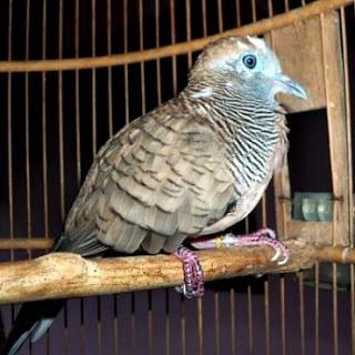 foto burung perkutut - foto hewan