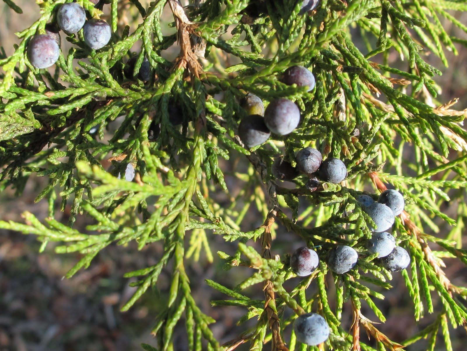 Blue jay barrens eating cedar berries