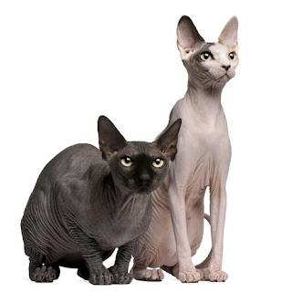 Gatitos esfinge canadienses - Sphynx cats