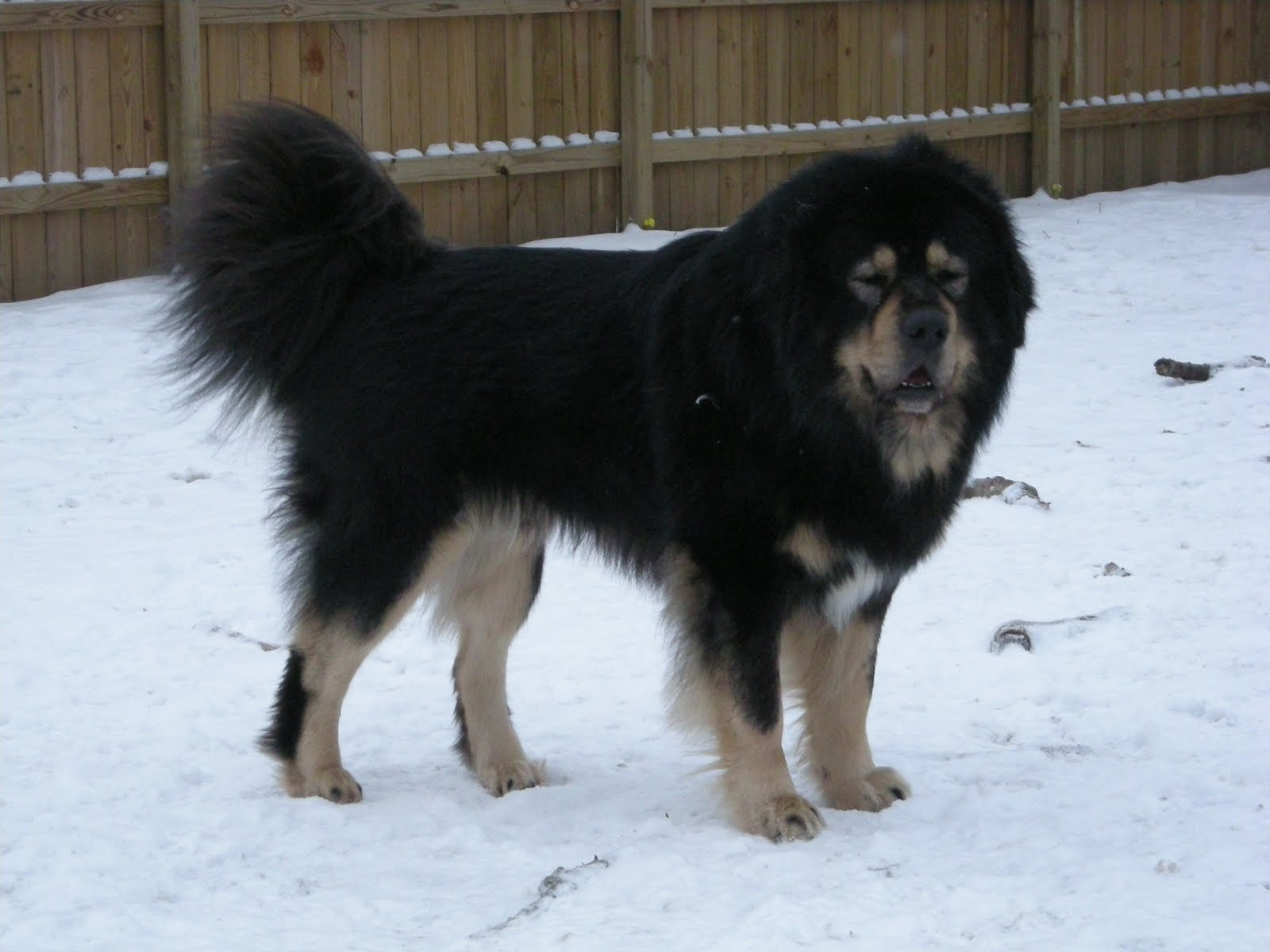 Tibetan Mastiff Dog - Dog Lovers