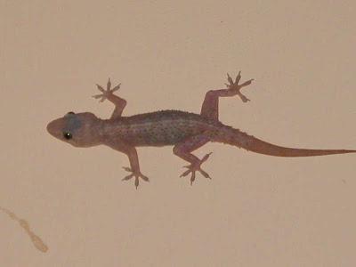 U S Lizard Biology of Anim...