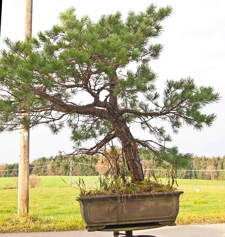 walter pall bonsai adventures new scots pine available. Black Bedroom Furniture Sets. Home Design Ideas