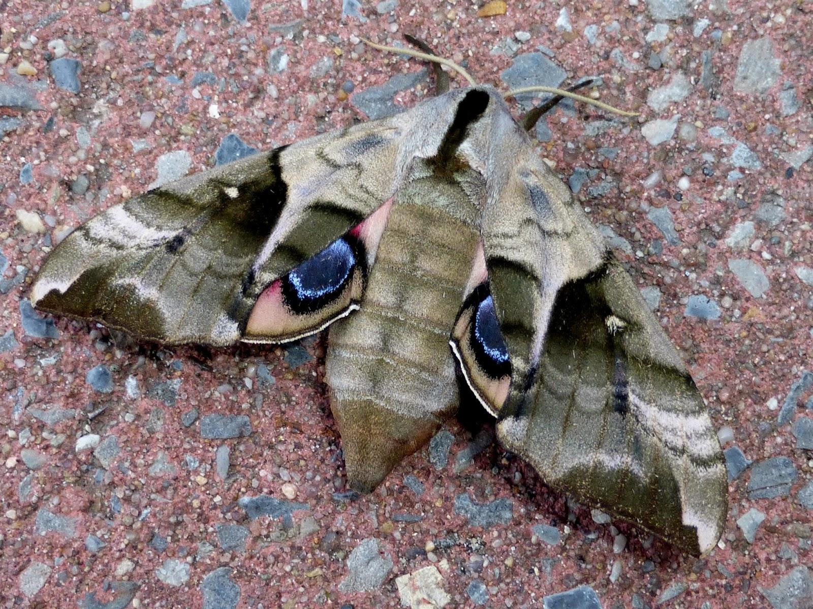 Smerinthus planus female