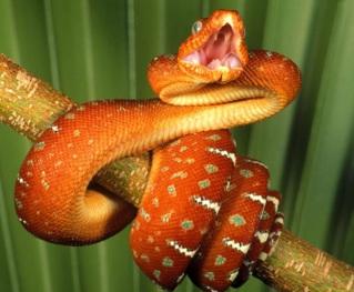 Serpiente naranja abriendo la boca