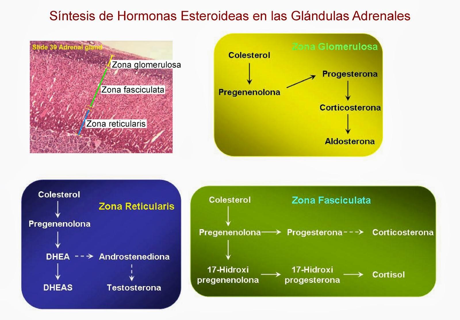 Síntesis de hormonas esteroideas en diferentes zonas de las glándulas adrenales