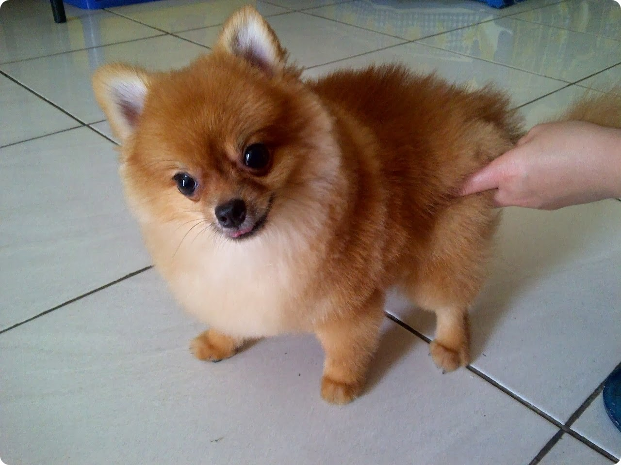 ... 11> Images For - Teacup Pomeranian Husky Puppies For Sale