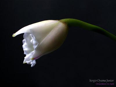 Botão floral da mini-orquídea Laelia alaorii