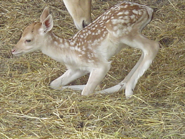 Νεογέννητο ελάφι στα πρώτα του βήματα
