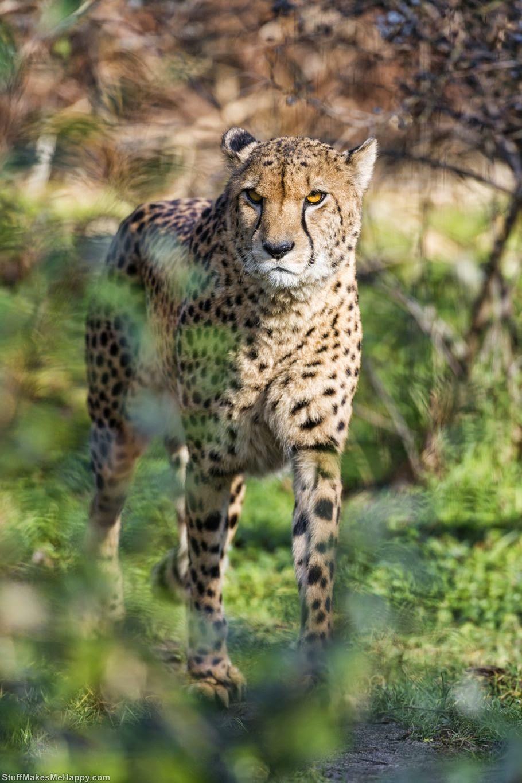 Cheetah or Leopard 1 (Photo by Tambako The Jaguar)