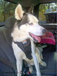 dog wearing kurgo dog harness