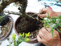 Potting Golden Glow Juniper