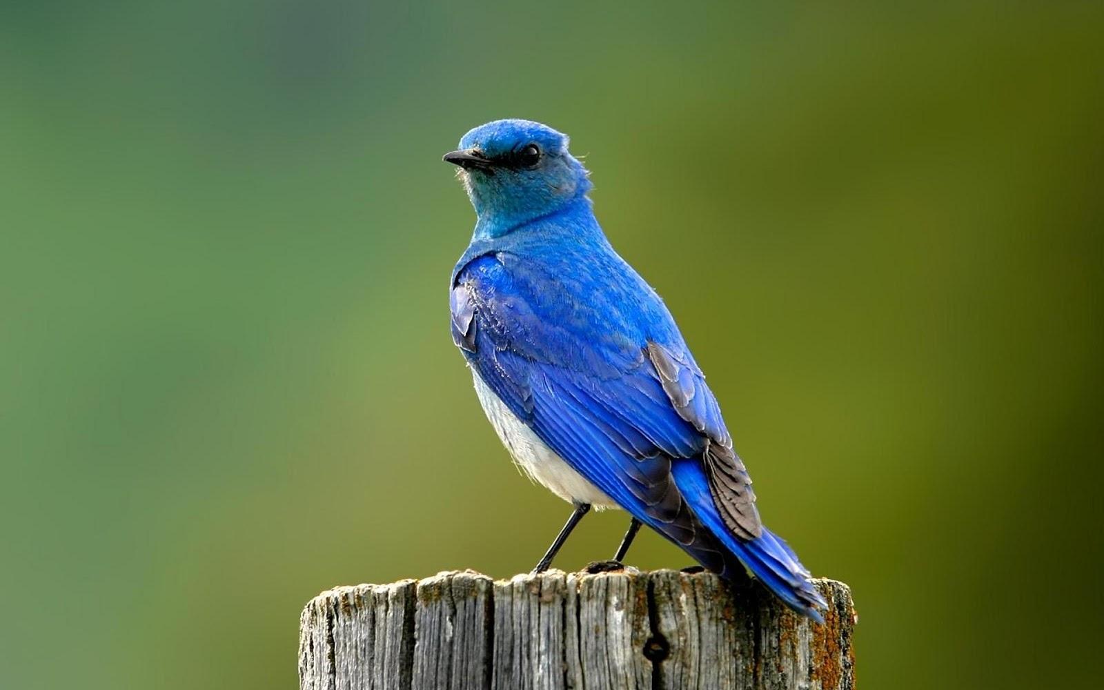 Blue Birds HD Wallpapers