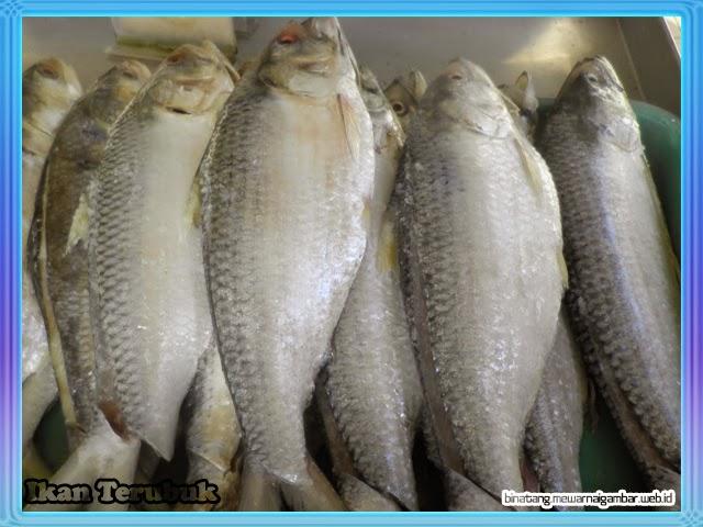 gambar ikan terubuk