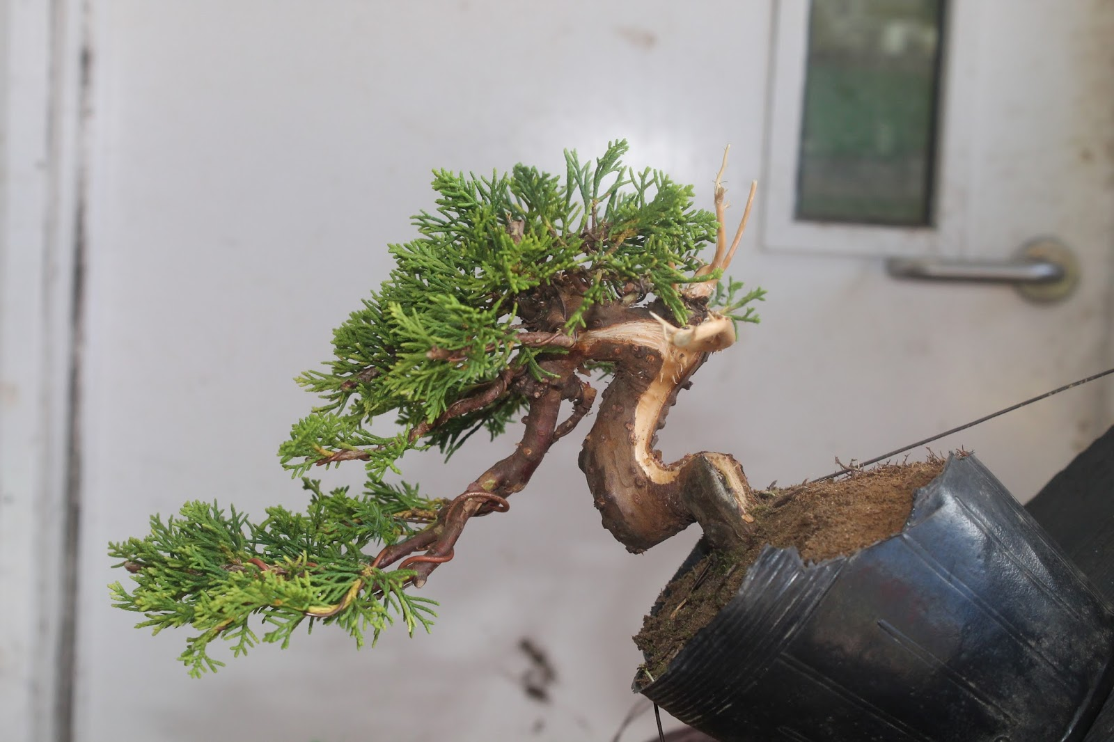 Little Cornish Trees Juniper Creation Pt1