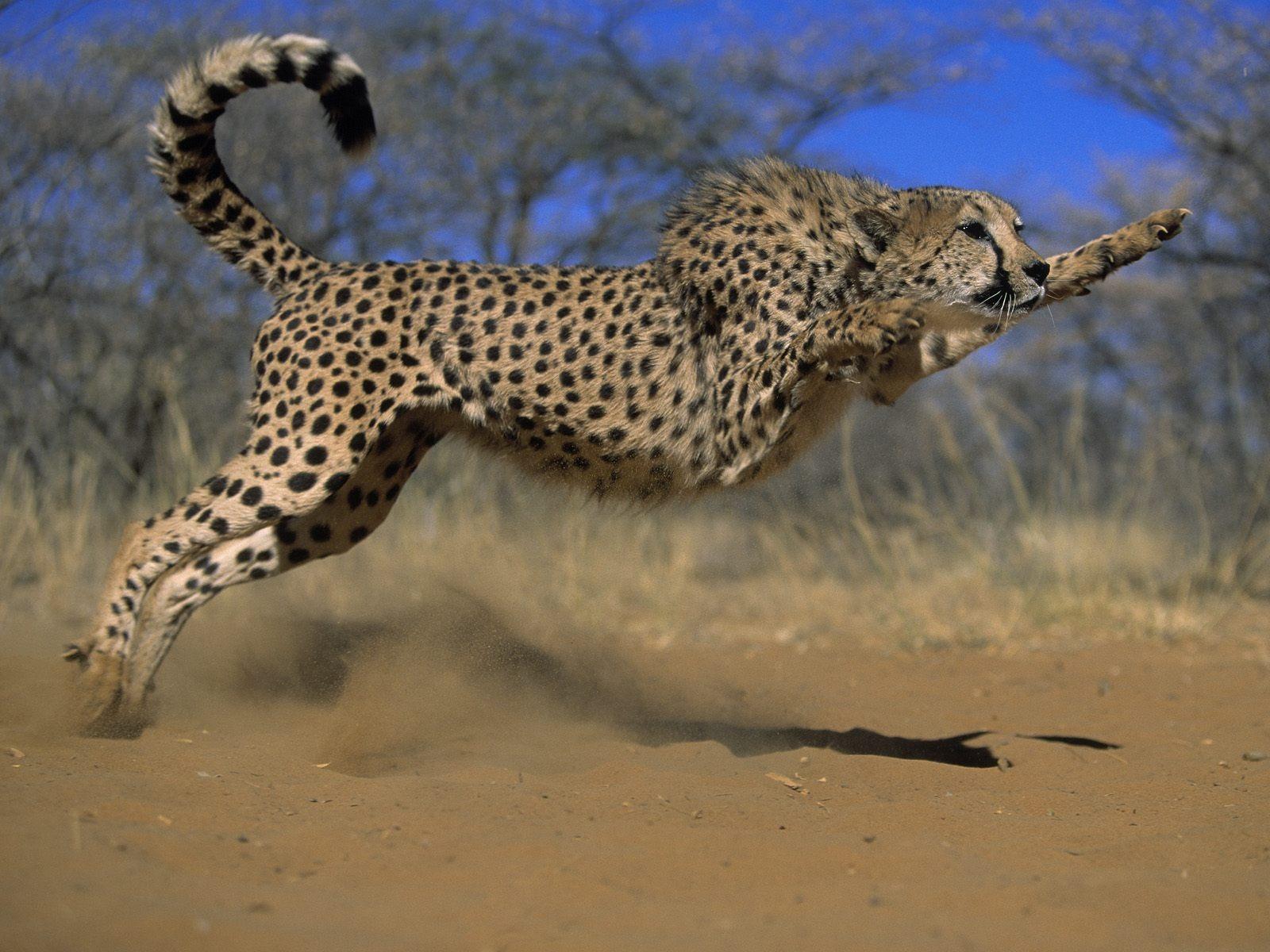 http://2.bp.blogspot.com/-ObT5VRKyMKg/T6k-WroO2yI/AAAAAAAAeBU/rojt7mvTolM/s1600/Cheetah-jump-hd-wallpaper.jpg