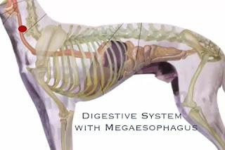 veterinaria online megaesofago en perros