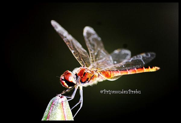 தட்டான்பூச்சி-புகைப்படம்-Dragonfly-Photos  Dragonfly-priyamudanprabu+(7)
