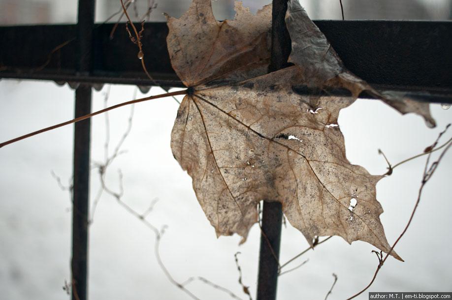 Лист клёна. Кленовый лист.