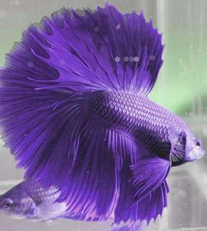 How To Raising The Betta Fish About Your Pet