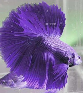 How to raising the betta fish about your pet for Can you put betta fish with other fish