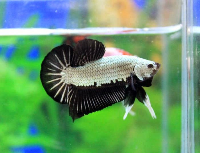 Poin Penilaian Dalam Kontes Ikan Pelaga/Cupang