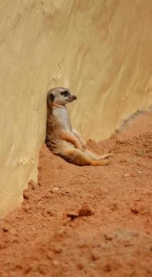 African-Meerkat