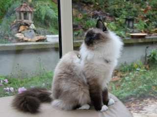 Birman Cat Pictures