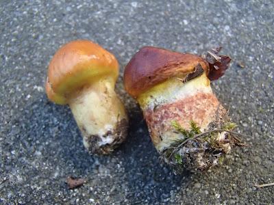 Maślak żółty, Suillus grevillesi