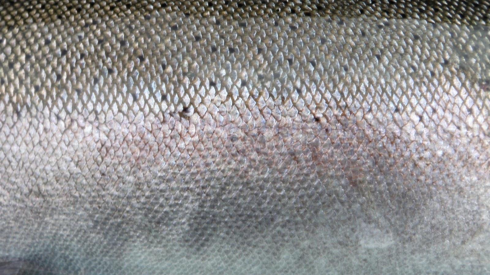 Bryanlikestofish fish skins first installment for Skin eating fish