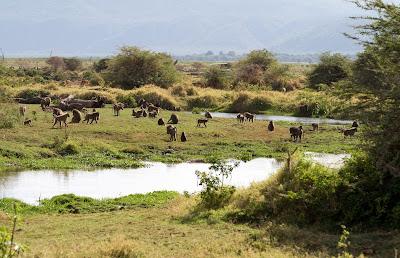 Safari in Tanzania: baboons