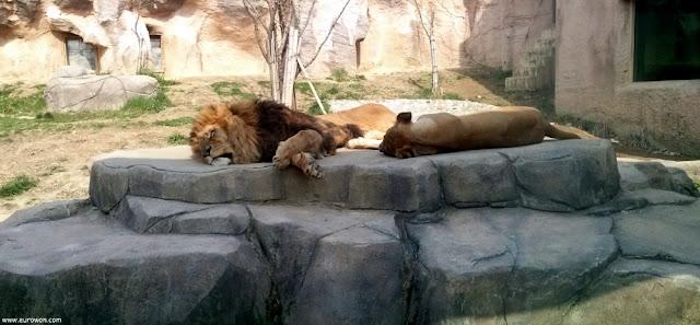 Leones en el Gran Parque de los Niños de Seúl