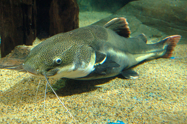 http://www.nation.co.ke/business/seedsofgold/My-secret-of-harvesting-giant-catfish/-/2301238/2876460/-/hjlui5z/-/index.html
