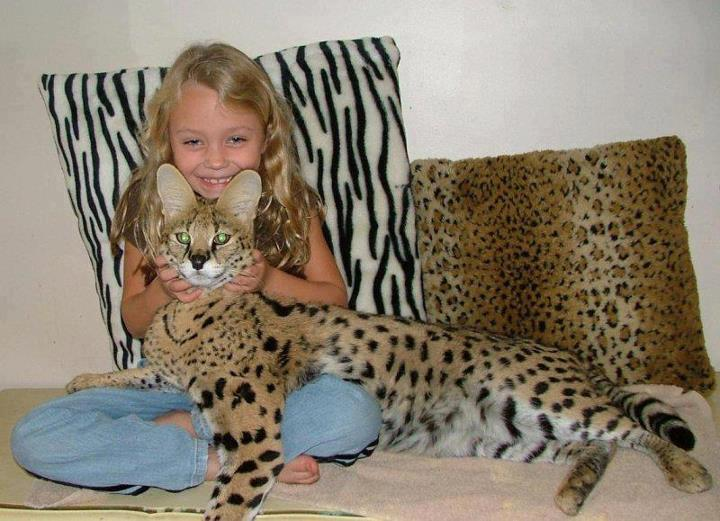Savannah cat a savannah cat with a cute child