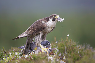Falcon hunting and eating pigeon