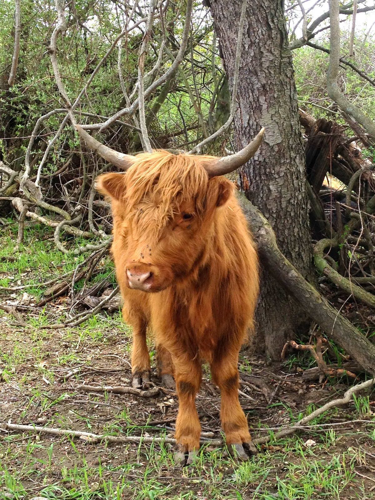 Extremely hairy cow