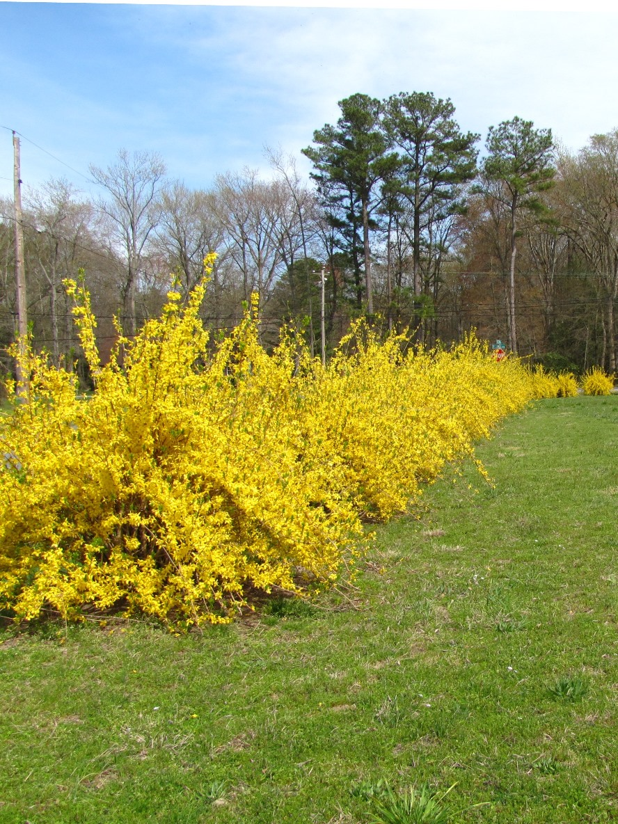 Views from the garden forsythia yellow flowering shrub forsythia yellow flowering shrub dhlflorist Gallery