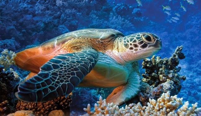 Mediterraneoweb flora e fauna marina del mediterraneo - Pagine di colorazione tartaruga ...