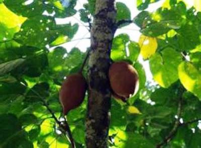Mengenal Pohon Pucung, Keluwek Dan Manfaatnya