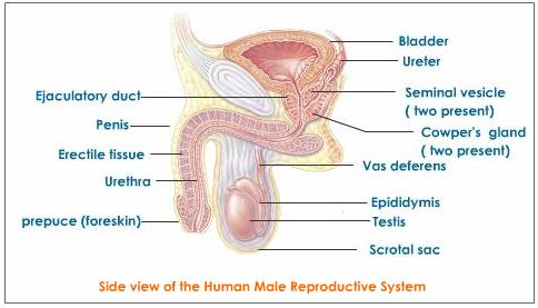 Diagrams Male Reproductive System Diagram
