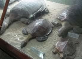 Kura kura di Museum Zoologi