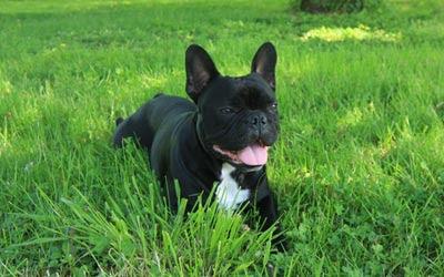Cuidados diarios del Bulldog