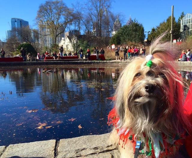 Atlanta Botanical Garden Reindog Parade Rocco Havanese