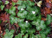L'herba fetgera o viola de llop de varietat blanca vista a prop del camí